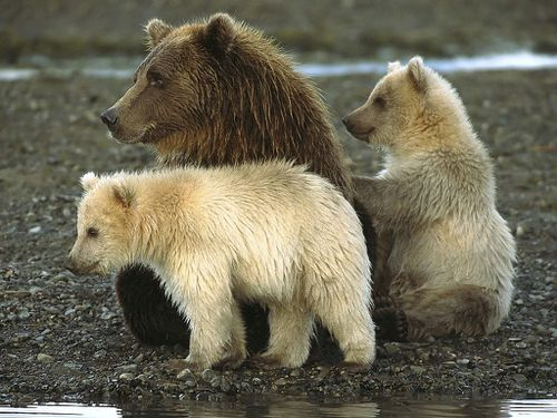 BEARS-in-katmai-national-park-alaska-