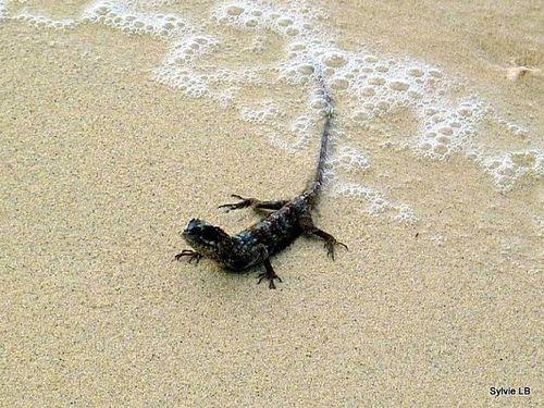 Dragon-volant-Siratus