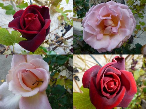 roses claire 10 ans