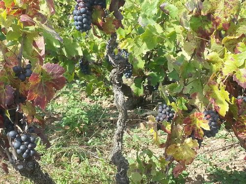 2013 Grappes de gamay
