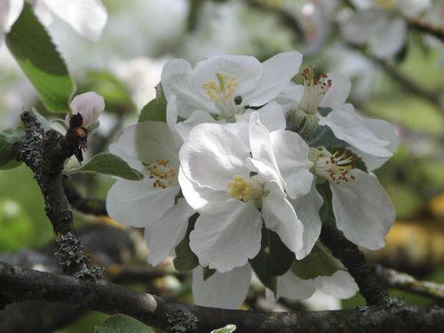 Fleurs de cerisier du jardin KIF 3231