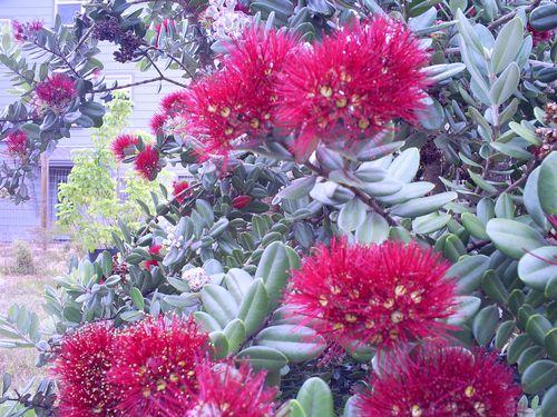 arbuste a fleurs rouges dorees