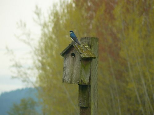Tree-Swallow-on-nest-box.jpg