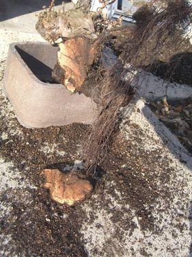 Rempotage de mon bonsai vigne CIMG0205
