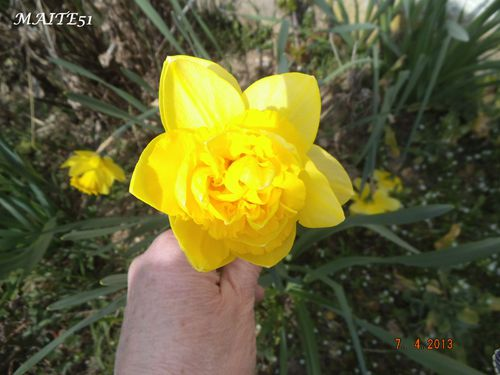 Narcisse-double-07-04-2013.JPG