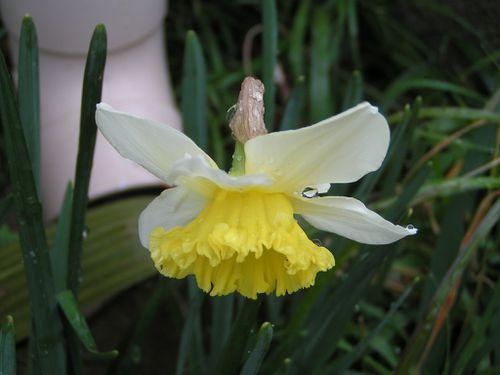 Jonquilles-Narcisses-22-2-13-3.JPG