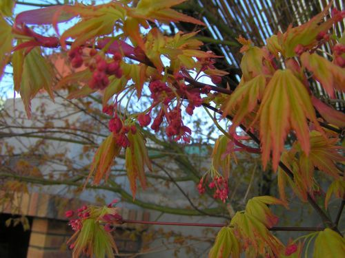 Erable-du-japon-fleurs-15-3-13-4.JPG