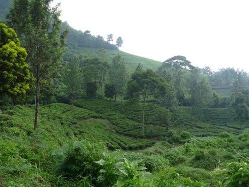 01-Bogor-Puncak pass-plantation de the 3