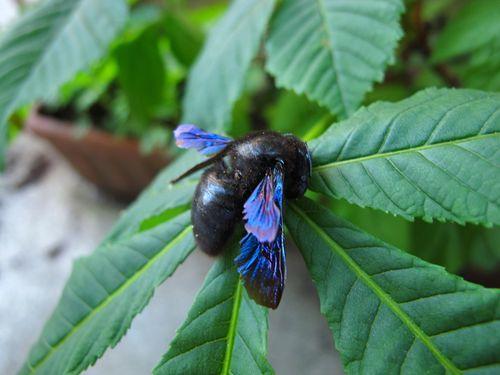 Bourdon noir ailes bleues metallisees mort insecte - Insecte vert volant ...