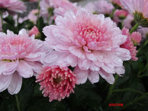 CHRYSANTHEME (11) (3)