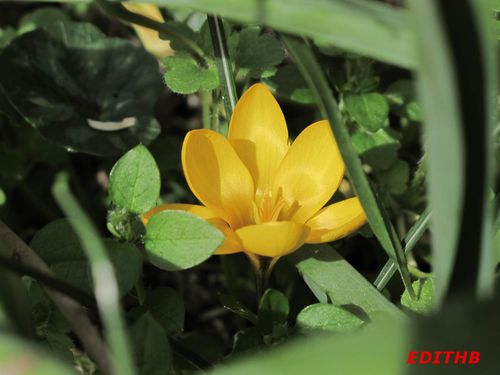 CROCUS JAUNE (1)-copie-1