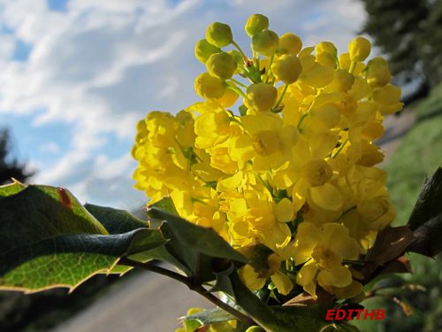 photos de fleurs jaunes d 39 un mahonia tres odorantes sur un mini arbuste edithb mes photos. Black Bedroom Furniture Sets. Home Design Ideas