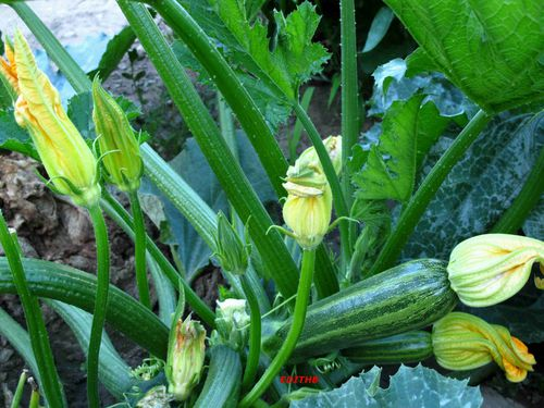 COURGETTES (3)