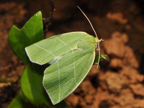 rocbaron papillon vert 2