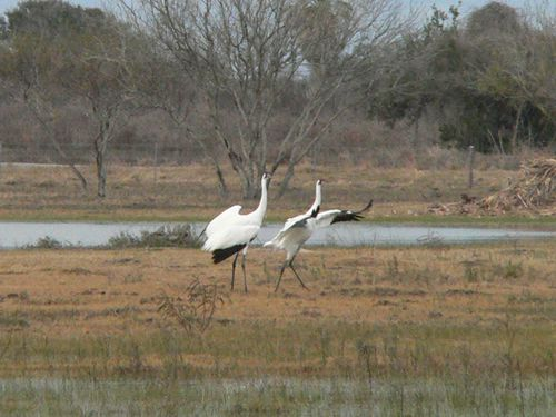 Goose Island SP grues blanches2
