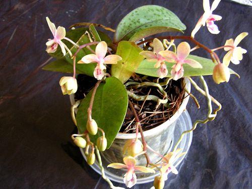 Phalaenopsis-manii-x-cassandra.JPG