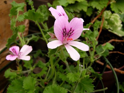 Pelargonium graveolens lemon fancy