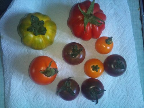 1ere-recolte-tomate-04.09.2012.jpg