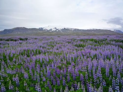 lupins-4