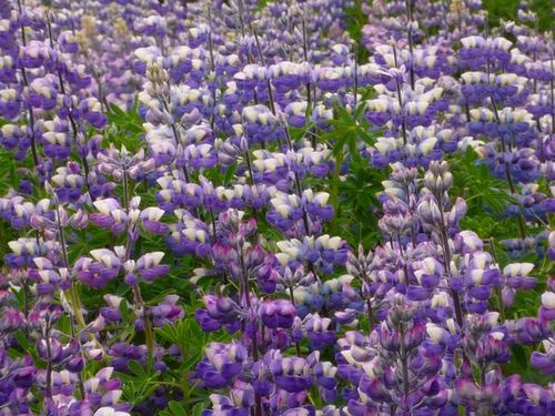 lupins-5