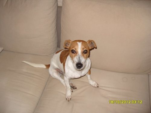 A Adopter Femelle Jack Russel Nee 2010 Levriers Sans Frontieres Galgos Martyrs Levriers Sans Frontieres