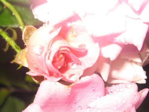 roses-de-mon-jardin 2051