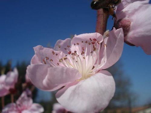 mars fleur de pecher