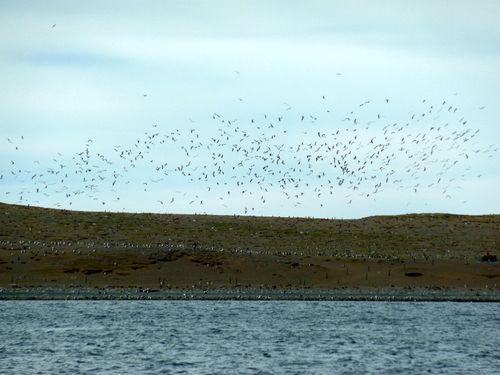 C15 Punta Arenas - Isla Magdalena 61