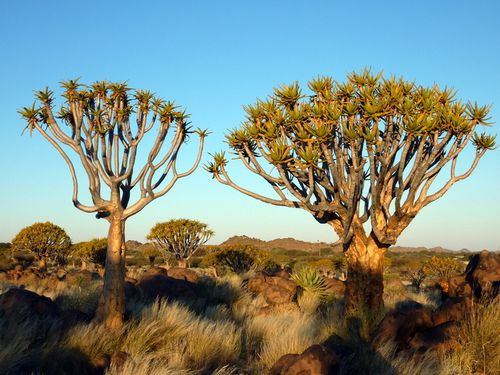08 Keetmantshoop - quivertree forest 09