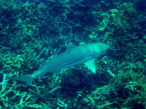 01 Perhentians - Requins 18