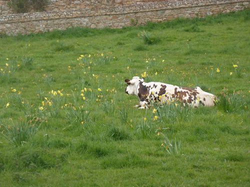 Bréhat - la vache dans les jonquilles - R