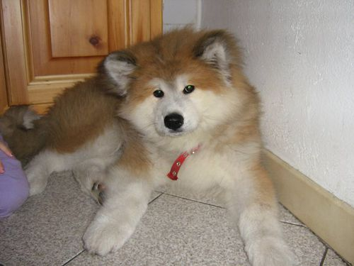 akita-inu-poils-longs-long-coat.jpg