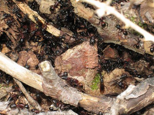 Nid présence sexués Camponotus ligniperdus