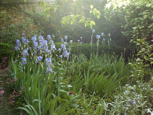 iris pallida 1