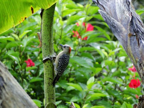 Black-cheeked-Woodpecker---femelle.JPG