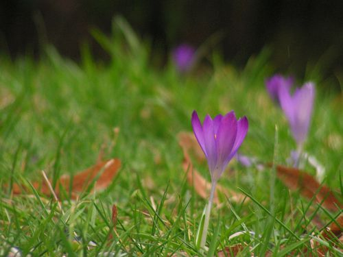 Crocus sp. 3