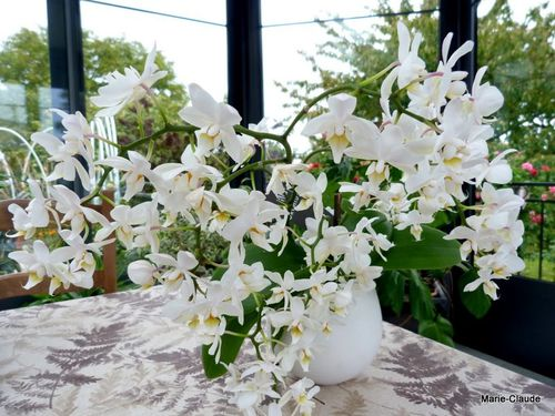 orchidee a petites fleurs blanches