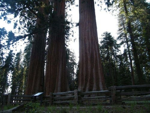 sequoias yosemite park