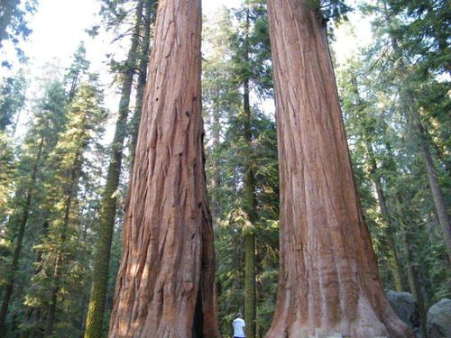 sequoias yosemite1