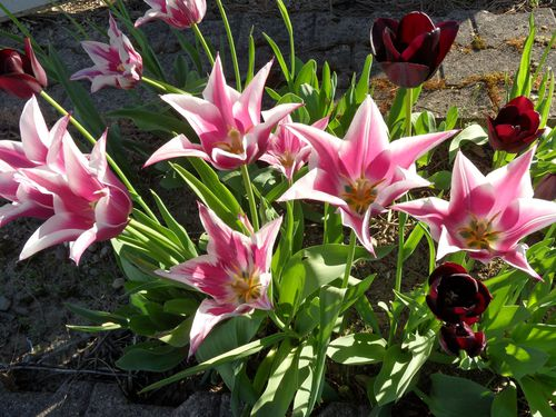 Tulipes-copie-1