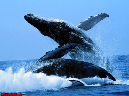 photo_fond_ecran_wallpaper_animaux_baleine_008.jpg