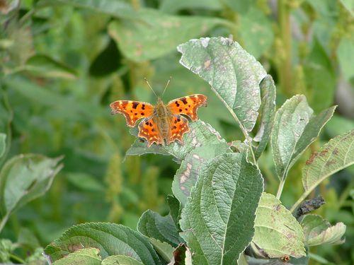papillon-robert-le-diable