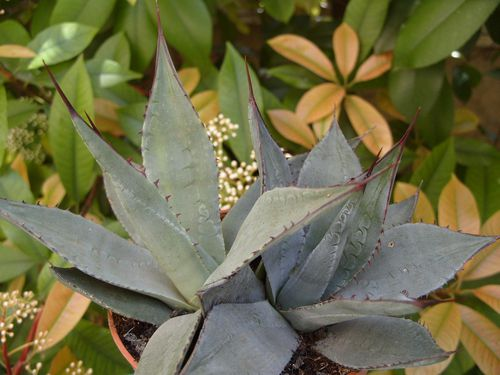 agave parryi (3)