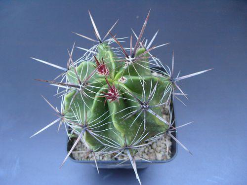 Ferocactus robustus (6)