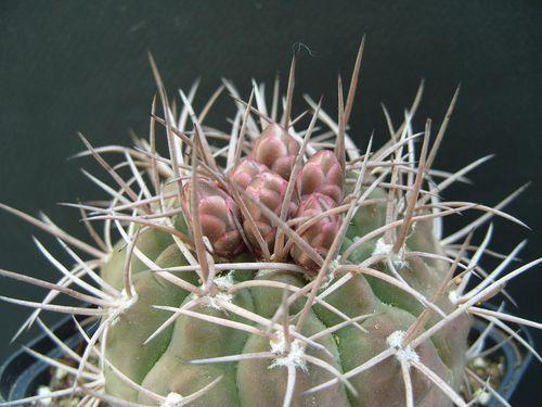 Gymnocalycium castellanosii P80b (15)