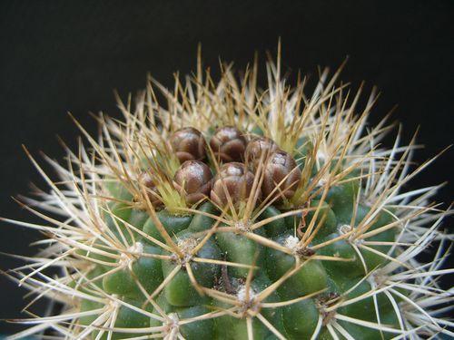Gymnocalycium neuhuberi (12)