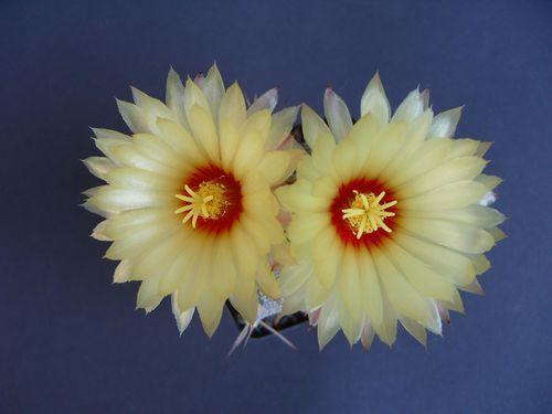 Astrophytum « capas » (12)