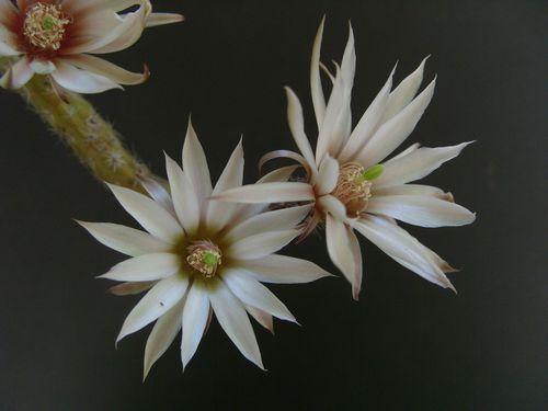 Echinocereus leucanthus (20)
