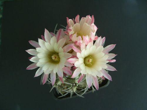 Pyrrhocactus paucicostatus (12)