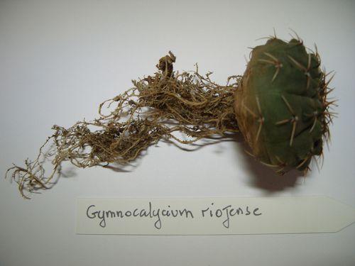 Gymnocalycium riojense (4)
